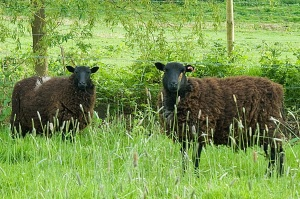 Dastardly sheep