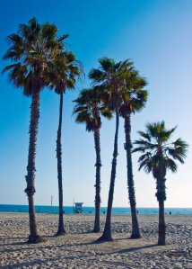 palm trees on Venice beach