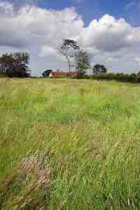 flowering grass near Sturminster