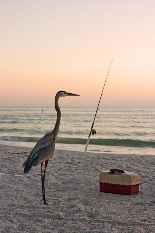 heron fishing with fishing rod and tackle box
